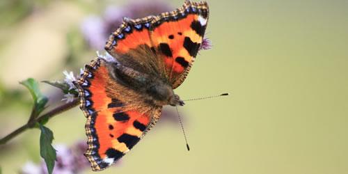 tuintips_augustus_vlinders