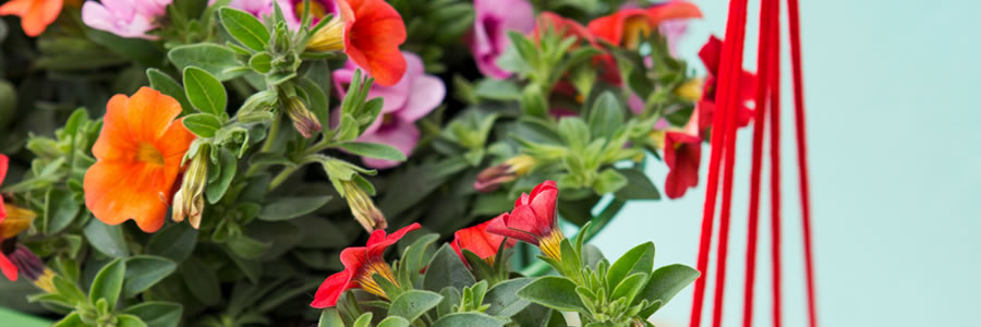 Tuinplant van de Maand april: mini-petunia